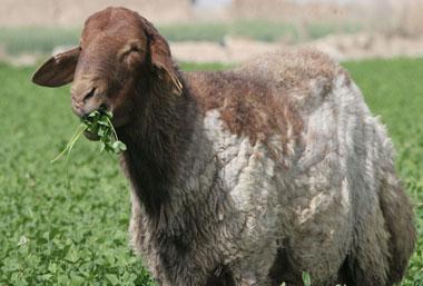 گوسفند سنگسری