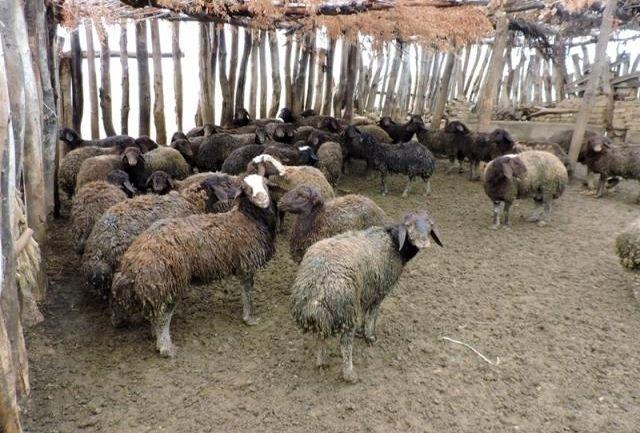 گوسفند نژاد کردستان