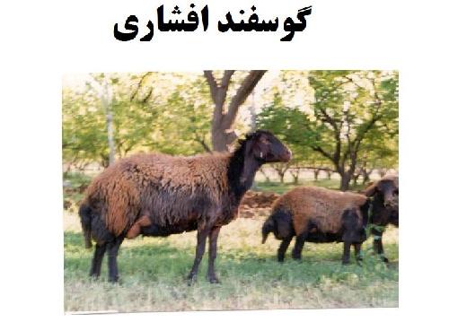 ویژگی های گوسفند افشاری اصیل