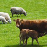 گوسفند  قربانی با کمترین  قیمت روزتهران - ارسال رایگان و قصاب مجرب