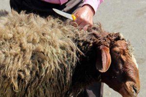 گوسفند قربانی برای عید قربان