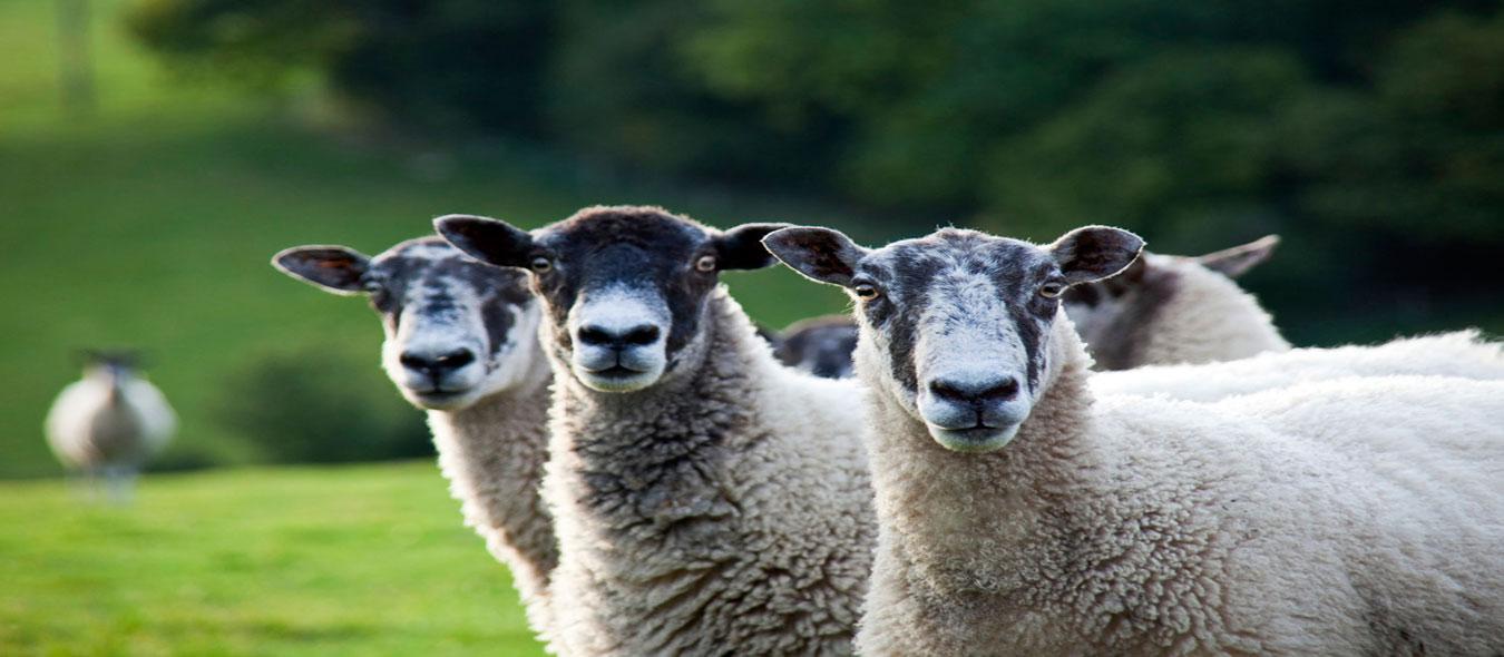 گوسفند زنده«پخش گوسفند زنده باسرویس رایگان شبانه روزی، پخش گوسفند زنده دامداران پاک»