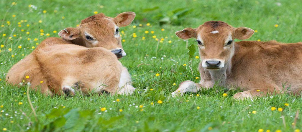 گوساله زنده