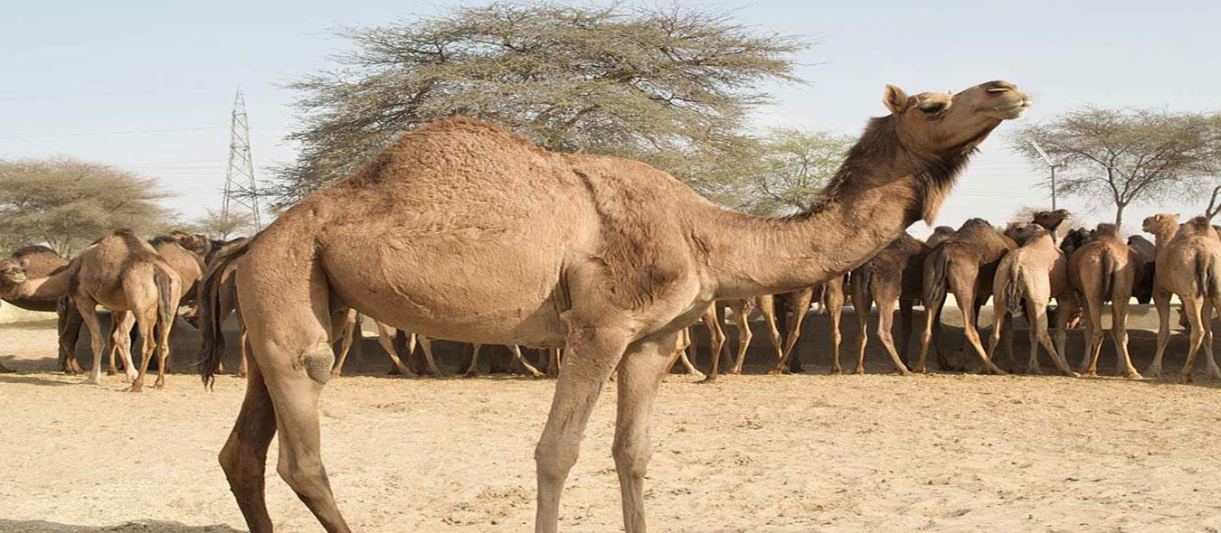 شتر«پخش شتر زنده باسرویس رایگان شبانه روزی، پخش گوسفند زنده دامداران پاک»