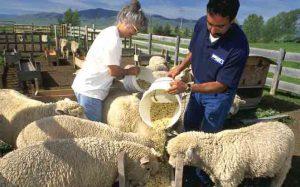 انواع گوسفند پرواری
