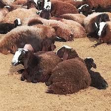 گوسفند فشندی