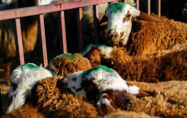 ترانزیت گوسفند زنده