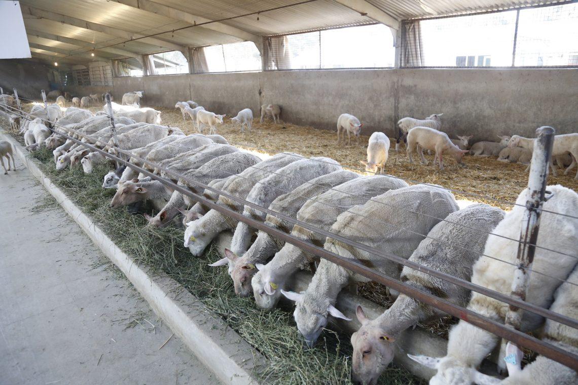 پراوری گوسفند