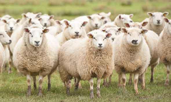 انواع بیماری در گوسفندان زنده| دامداران پاک