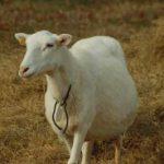 تعبیر-خواب-گوسفند
