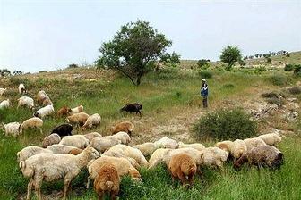 چرا گوسفند زنده