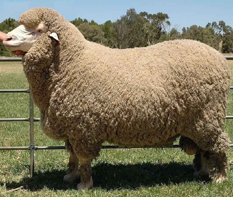 قاچاق گوسفند زنده از ایران