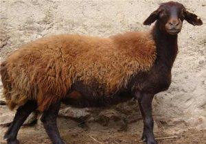 گوسفند افشاری