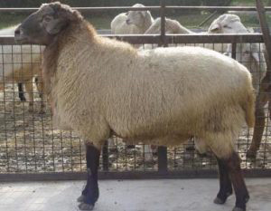 گوسفند-نژاد-مهربان
