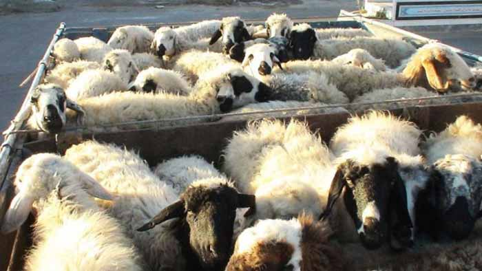 قاچاق گوسفند زنده