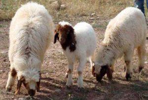 گوسفند کردستان