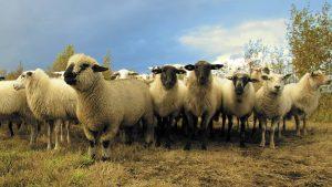 قیمت روز گوسفند زنده - قیمت دام زنده