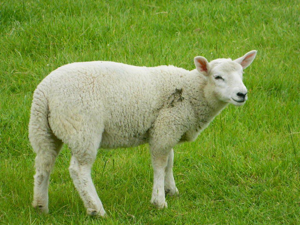 وزن گوسفند زنده