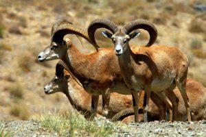 تشخیص سن گوسفند از روی شاخ