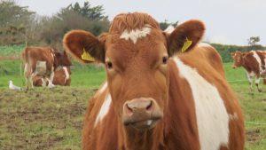 گاو شیری