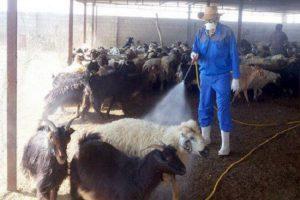 سم پاشی گوسفند