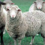 آموزش درمان عفونت بند ناف گوساله