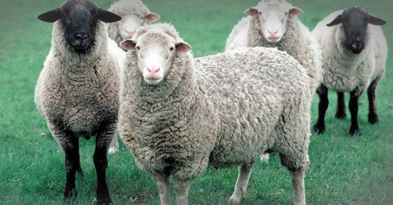 معرفی کامل گوسفند مغان