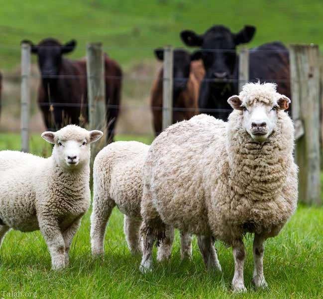 اسهال در گوسفند