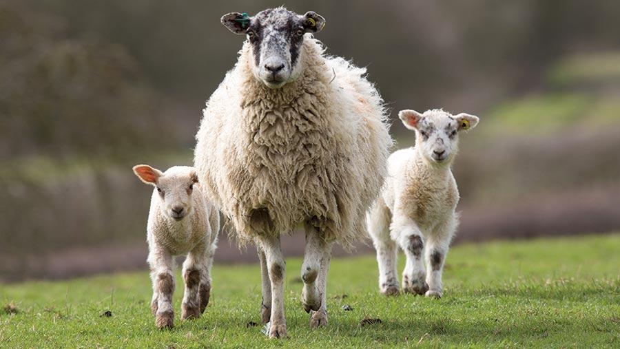 پشم چینی در گوسفند زنده