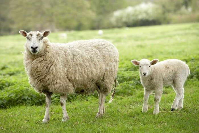 مصرف آب در گوسفند زنده