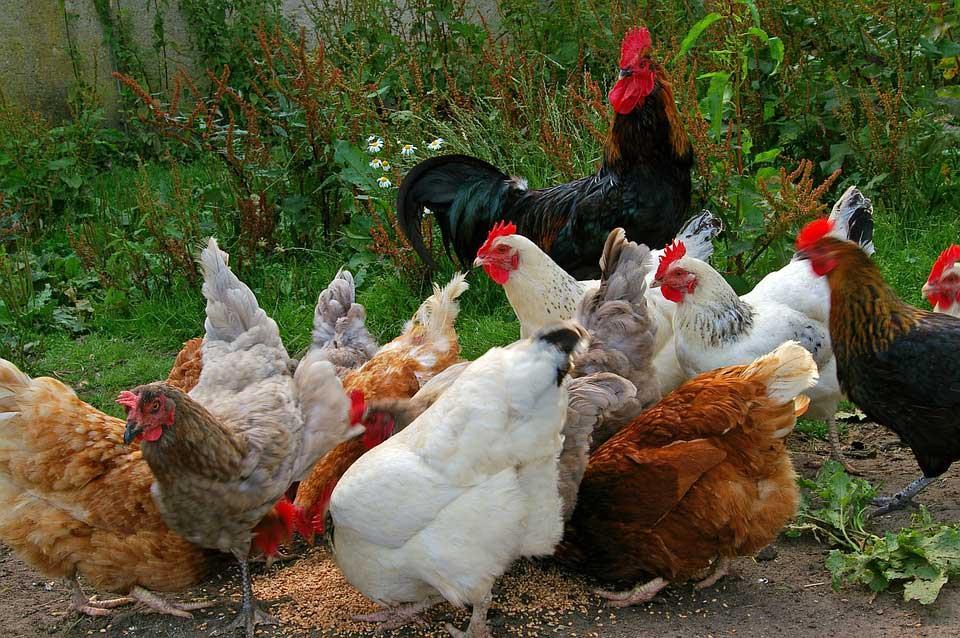 دلیل گرانی مرغ و خروس