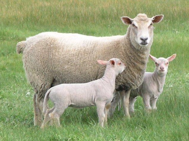 گوسفند شاروله