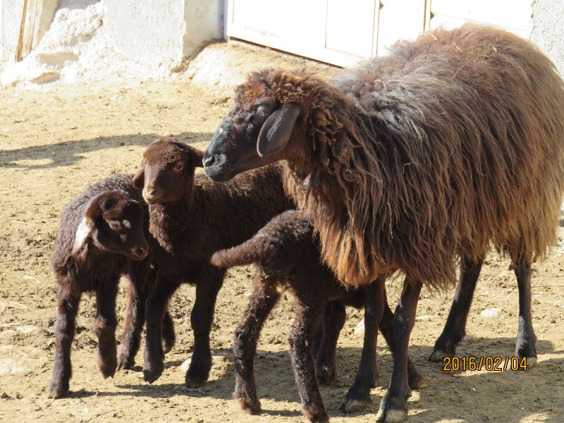 گوسفند نژاد قشقایی
