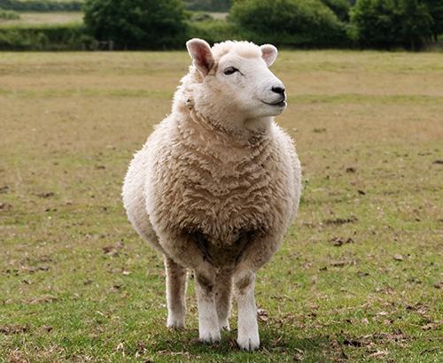 گوسفند شیری ایست فریزین