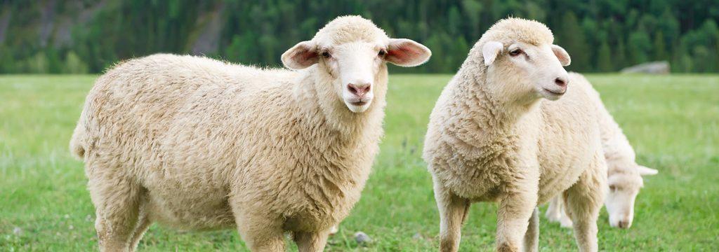 پشم چینی در گوسفند
