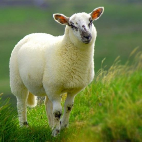 بیماری های انگلی در گوسفند زنده
