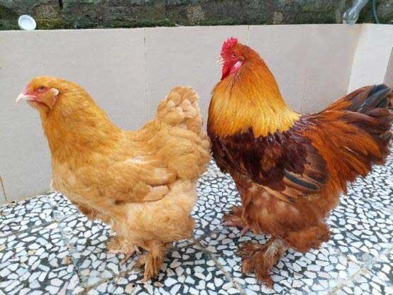 کاملترین اطلاعات مربوط به مرغ وخروس نژاد برهما