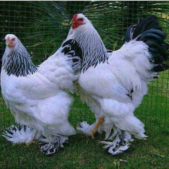 خصوصیات و ویژگی های مرغ و خروس خانگی