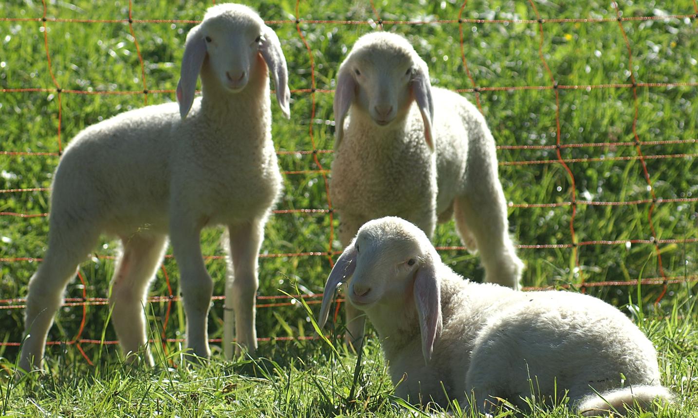 اجزا و سیستم های بدن گوسفند زنده