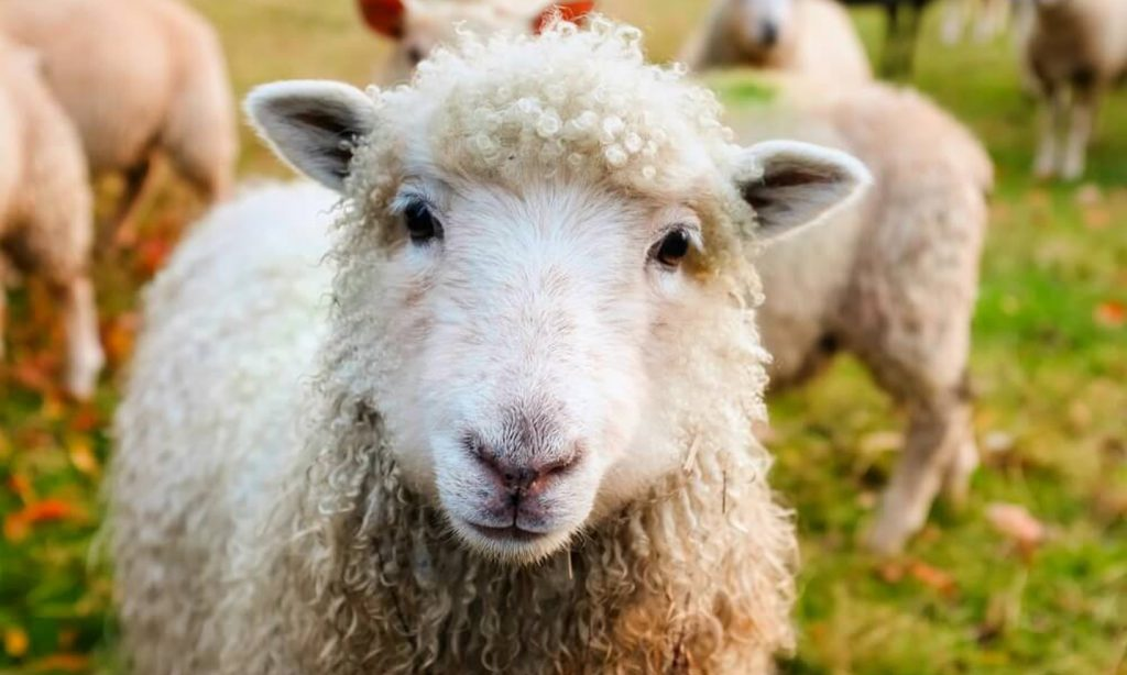 وزن گوسفند