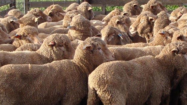 تغذیه مناسب گوسفند پرواری