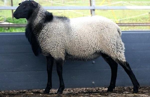 بیماری اسهالدر گوسفند زنده