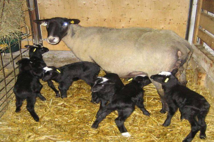 قیمت روز گوسفند چند قلوزا – دامداران پاک