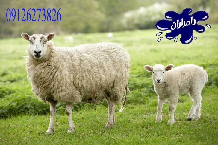 چگونگی پرواربندی گوسفند|دامداران پاک