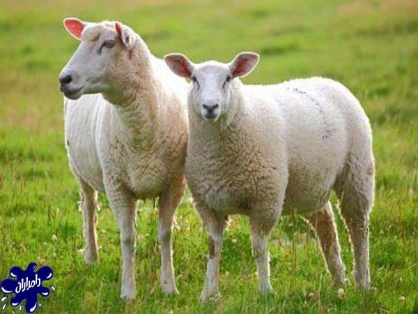 گوسفند-شاروله.