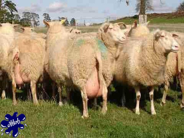 گوسفند-شیری-ایست-فریزین