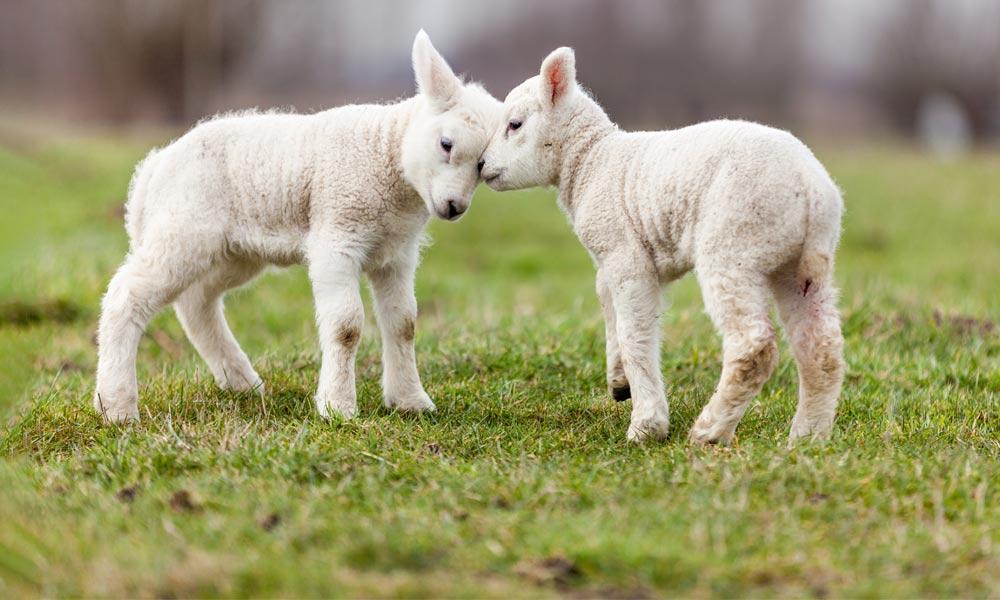 دلیل اسهال گوسفند زنده و درمان آن|دامداران پاک
