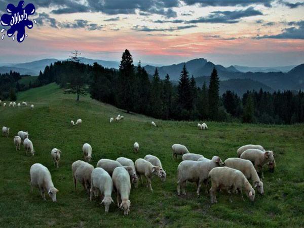 گوسفند نژاد بلوچی|دامداران پاک