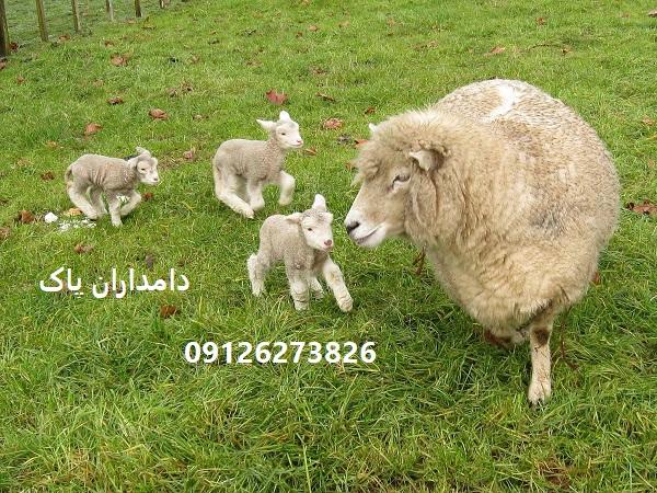 خرید گوسفند زنده