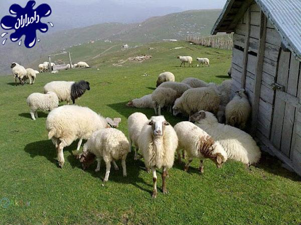 جالب ترین ترین روش های تشخیص سن گوسفندزنده – دامداران پاک